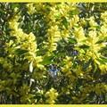 Mimosa chenille