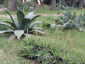 agave___aloes