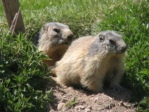 marmottes_4