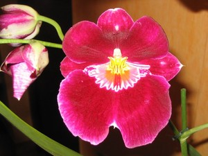 orchid_e_rouge