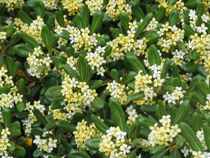 pittosporum_5