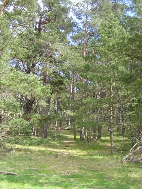 Ballade dans une forêt de pins