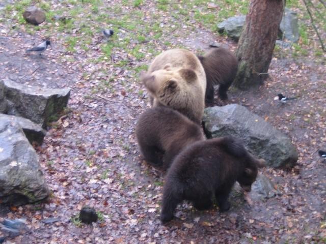 Des ours bruns