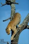 leopard_copyright_alain_pons
