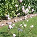 La toute première floraison du Magnolia