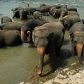 07: pinnawela, orphelinat des éléphants