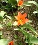 tulipe_orange