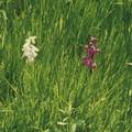 Orchid_es__10_
