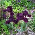 mini iris... presque noirs !