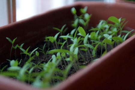 feuilles_de_tomates
