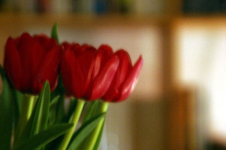 tulipes_encore