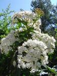 12_avril_fleur_blanche1