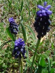 12_avril_fleurette_bleue