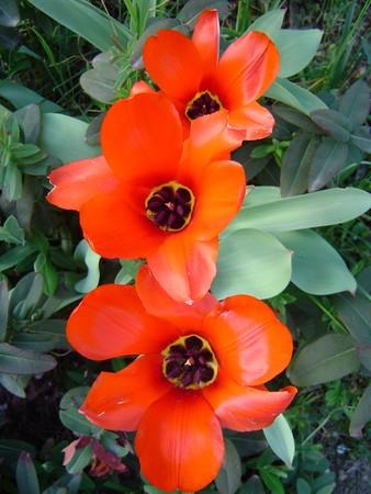fleur_tulipe
