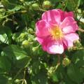 rose lavender dream