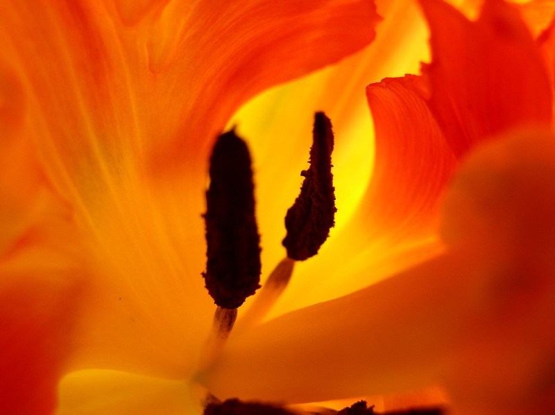 tulipes_jaune_orange_04
