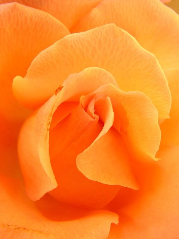 coeur_de_rose_02