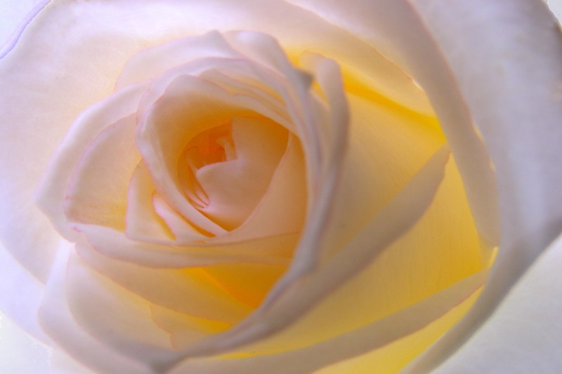 roses_blanches_0420x301