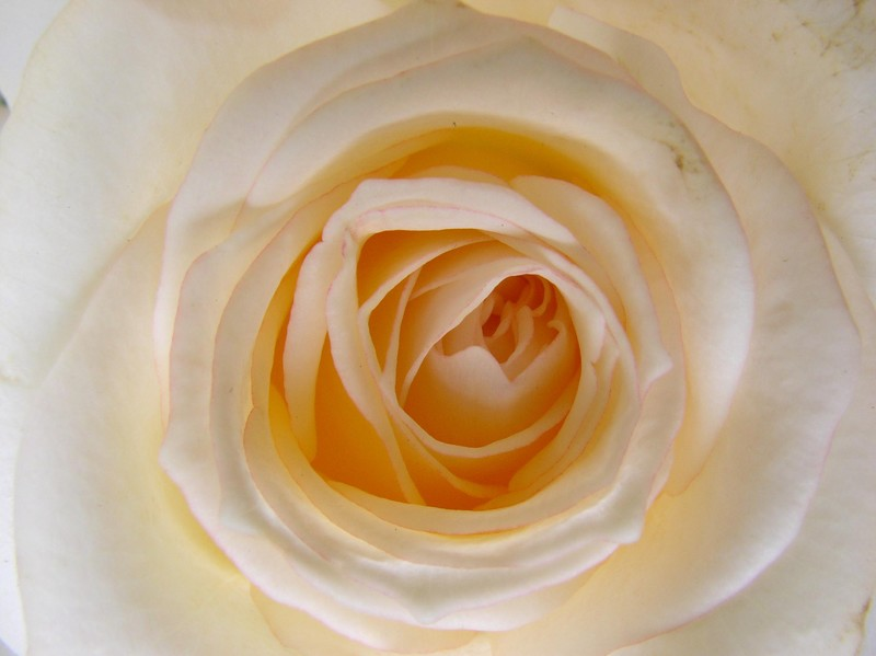 roses_blanches_09