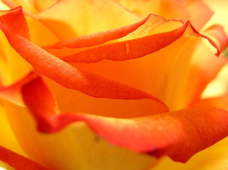 roses_orang__jaune_05