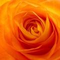 roses_orang__jaune_07