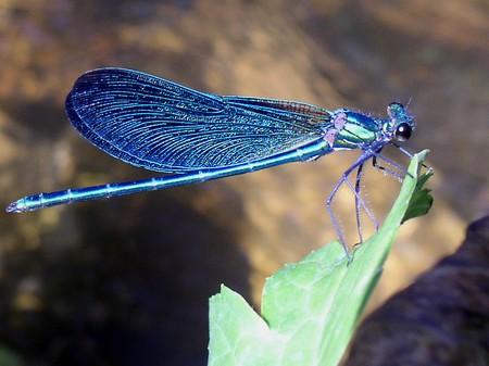 libellule_bleue1