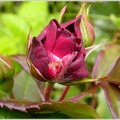 Rose rouge 1