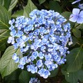 ayesha, hortensia à fleurs de lilas