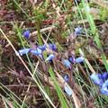 perle bleue sur la lande
