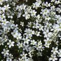 fleurs de saxifrages