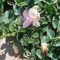 buisson épineux,fleurs sublimes