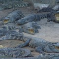 Ferme auc crocodiles