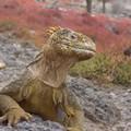 Iguane terrestre , Plaza