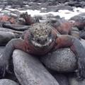 Iguane marine au repos ...