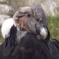 le fameux Condor