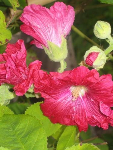 Rouge-rose flamboyant!
