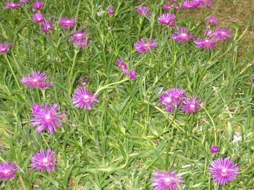 Fleurs mauves de pourpier