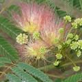 Gros plan fleur d'albizia