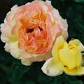 Rose rose, et jaune