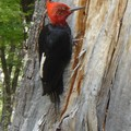 Vendredi 30/12 - Patagonie - Whoody Wood Pecker