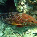 Hexagone grouper