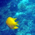 Yellow Slinglaw Wrasse