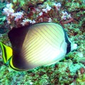Weavers Butterflyfish
