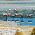 Flamants roses des lagunas boliviennes par Patrice