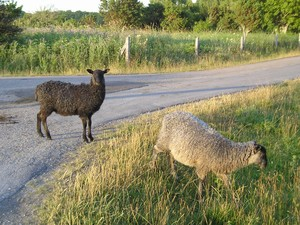 2005.07.18___271____land___au_sud___moutons