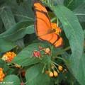 Dryas iula • Heliconiidae • Guyane