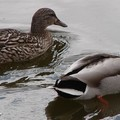 Un couple de canards Colvert