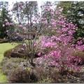 Bruyères et magnolias (en avril)
