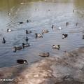 Un paradis pour les canards sauvages