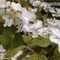 Arbuste à floraison printanière